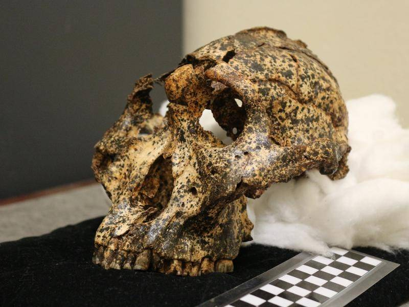 A two million-year-old skull from a human cousin has been unearthed by Australian archaeologists.